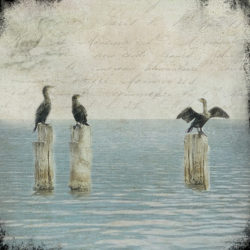 Cormorants+